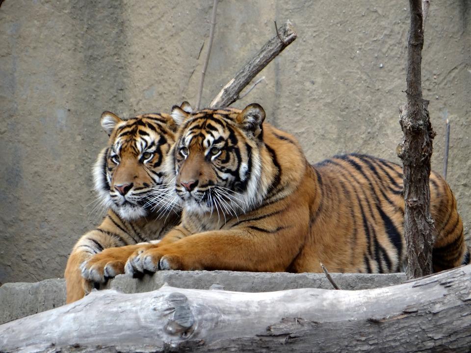 sumatran-tiger-2777268_1920
